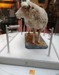 Az első klónozott emlős, Dolly bárány